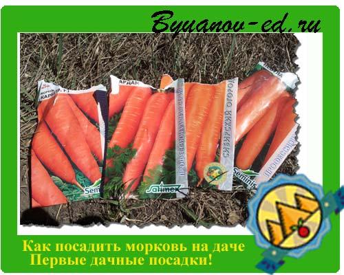 Моя схема посадки моркови с