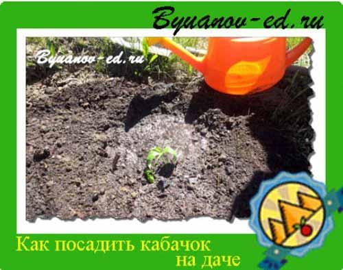 как посадить кабачки на даче