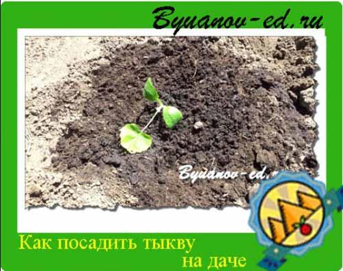 как посадить тыкву на даче