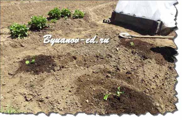 садим тыкву