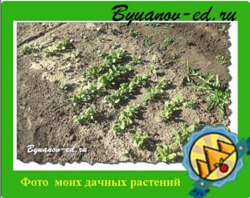 растения на даче фото