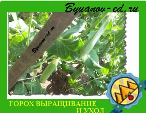 горох выращивание и уход