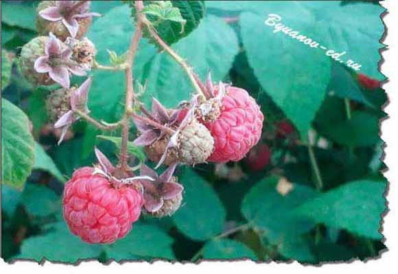 ягода малина