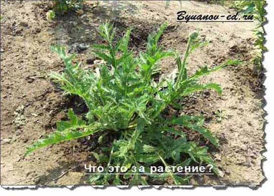 растение конкурса