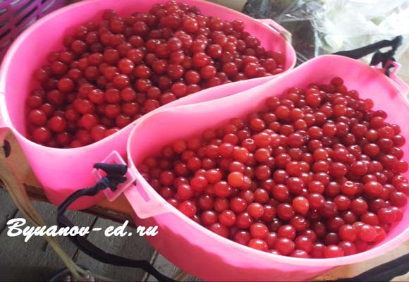 сбор вишни ягоды
