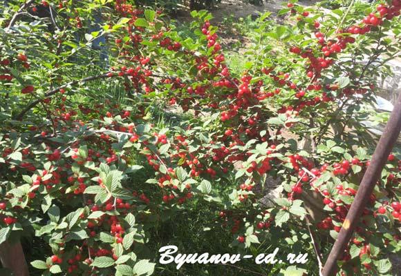 ягода вишня
