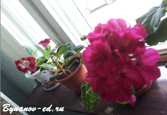 цветок пеларгония (герань)