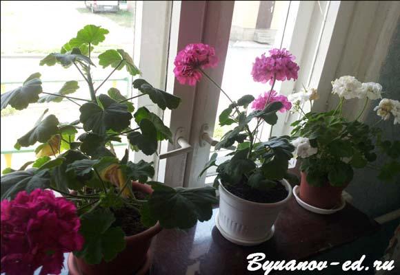 пеларгония в цвету