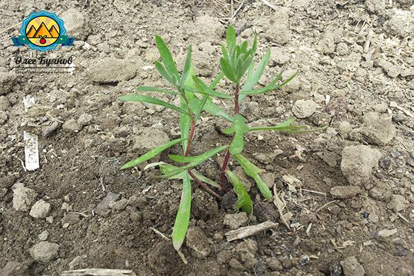 растение для конкурса