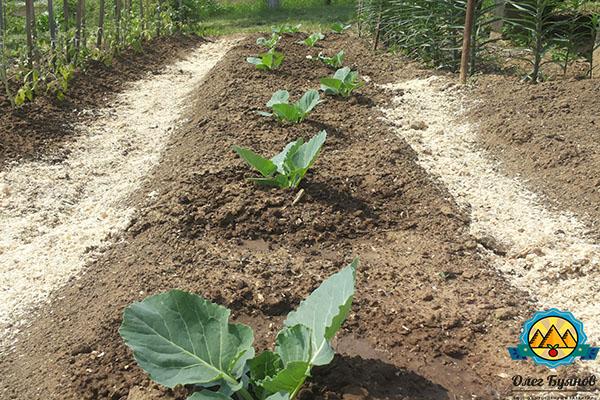 как вырастить капусту белокочанную на даче