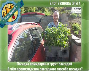 посадка помидоров рассадой