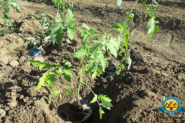 посадка помидоров в грунт