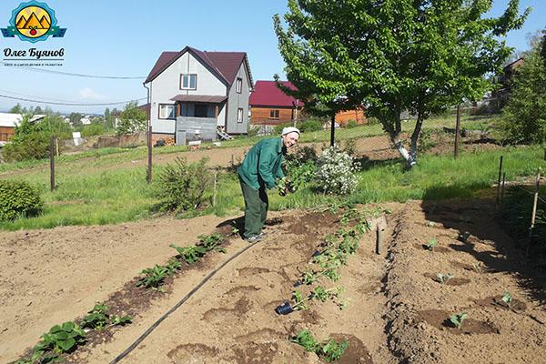 высаживаю помидоры