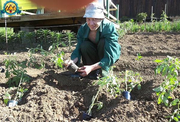 высаживаю рассаду помидоров в грунт