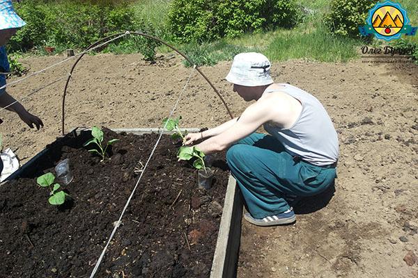 высаживаю баклажаны в грунт