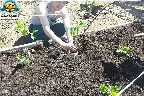 высаживаю перцы в открытый грунт