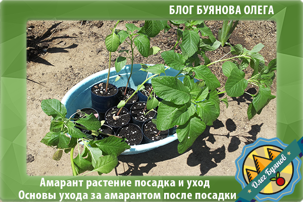 амарант растение посадка и уход