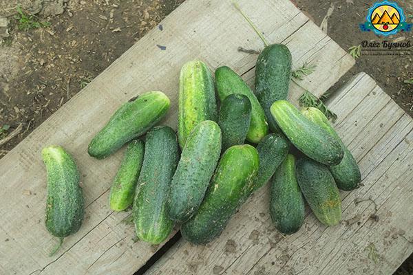 зелёные плоды с пупырышками