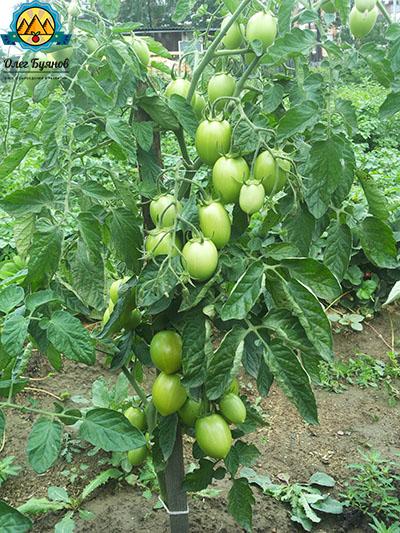 помидоры на даче