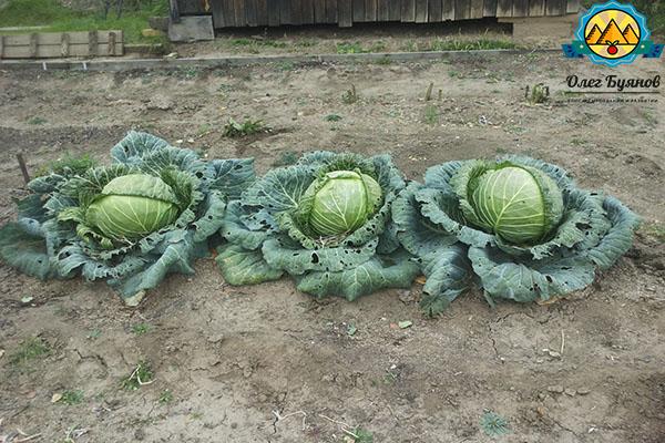 грядка овоща на даче