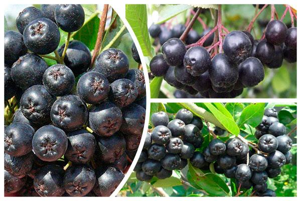 черноплодная плоды