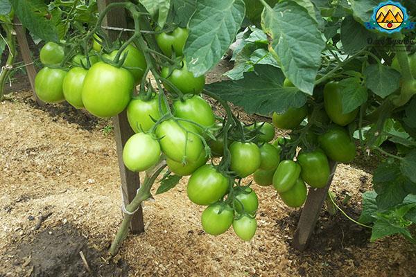 растут томаты