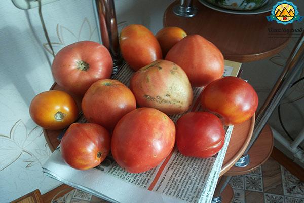 рожай томатов