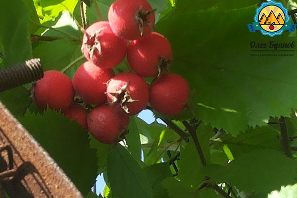 ягода боярышника