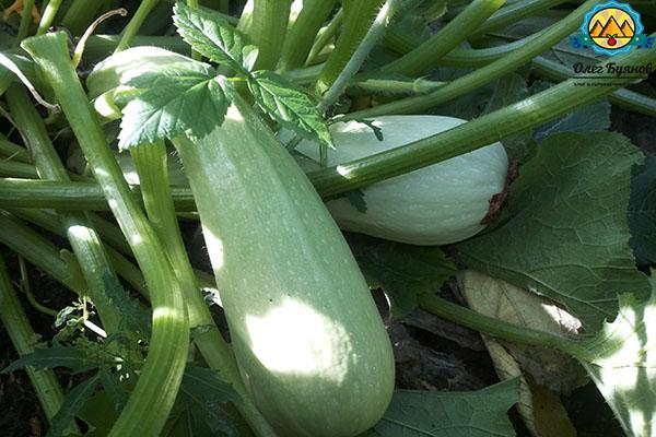 урожайные плоды