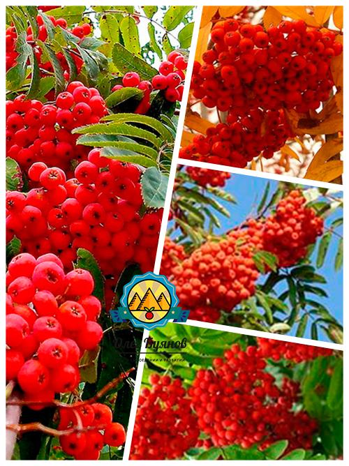 красные плоды на даче