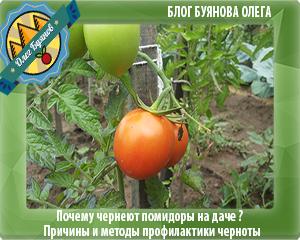 томаты на даче