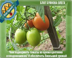 гроздь томатов
