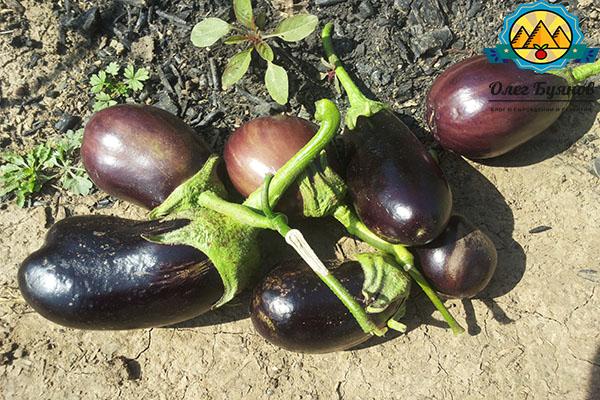 урожай плодов на даче