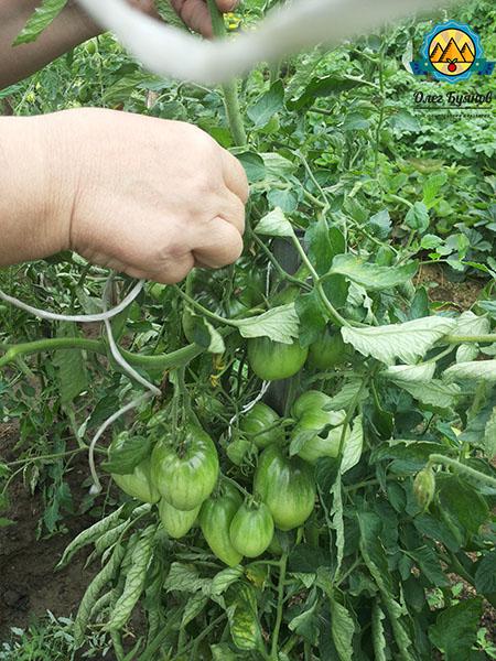 подвязываю томаты