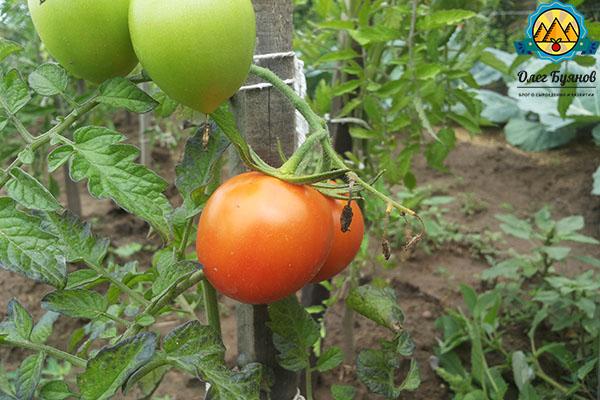 красный плод томата