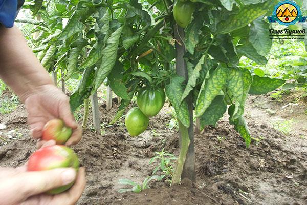 собираем урожай томатов