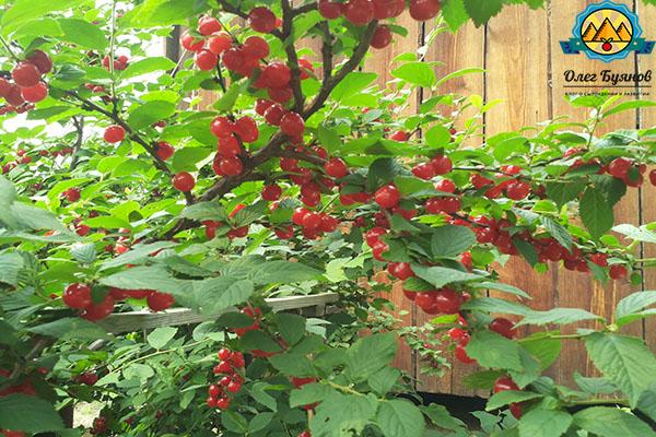 ягодка на даче