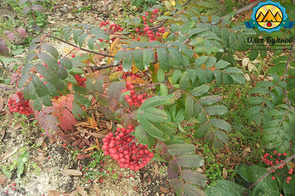 ягода на кусту