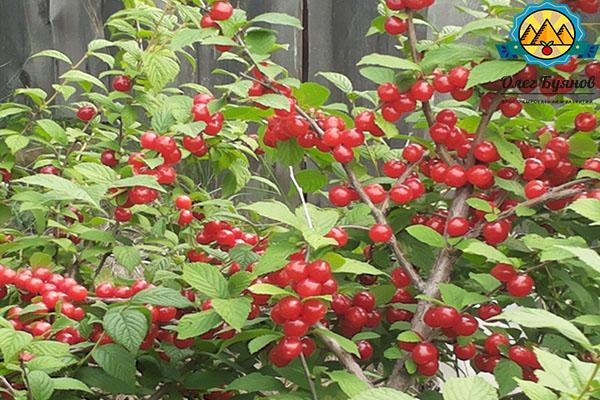 плоды ягоды