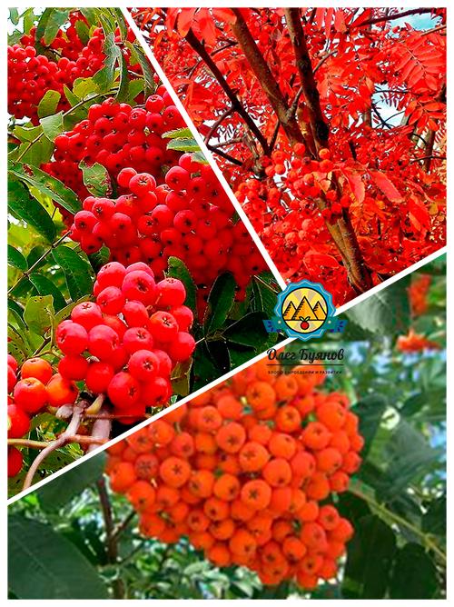 красивая ягода
