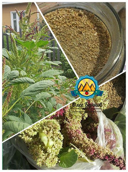 урожай и семя щирицы