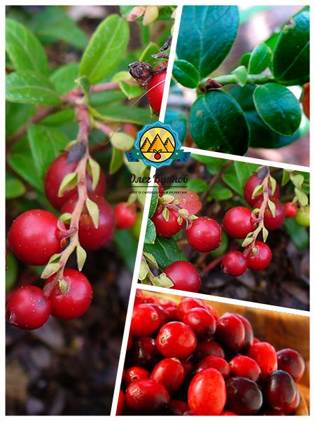целительные плоды и листочки