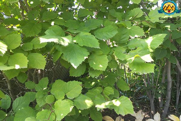 куст с листьями