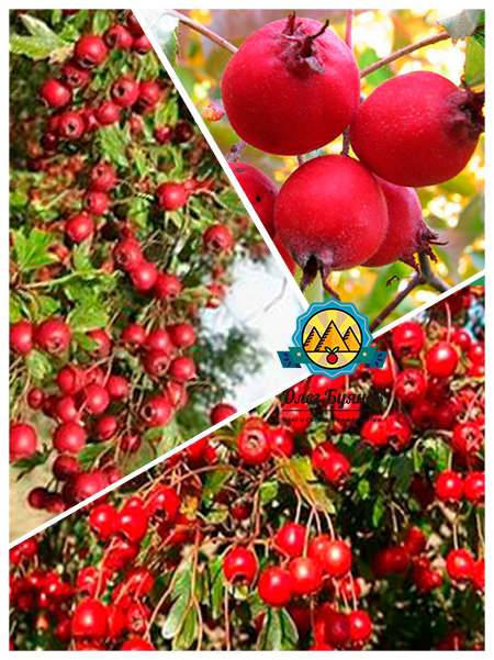 ягоды и плоды боярки