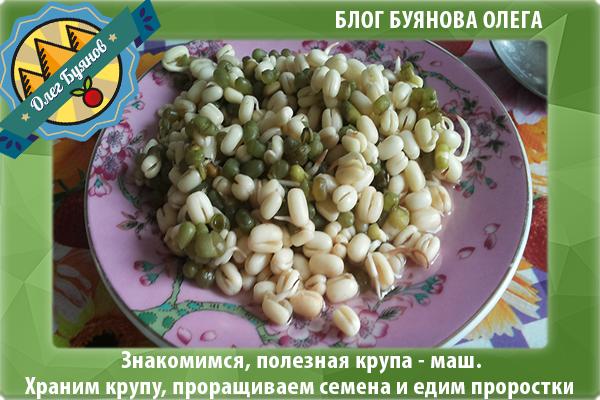 пророщенные семена бобов