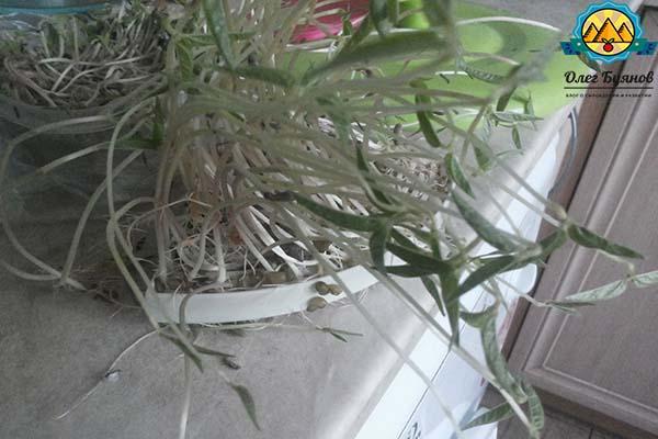 ростки гороха
