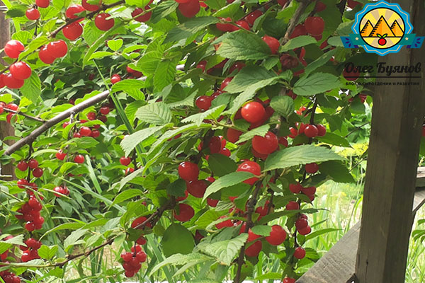 красивые ветки и листья красной вишни