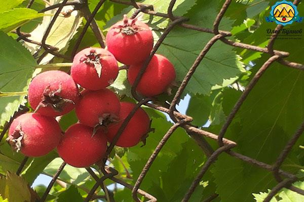 целебная ягода
