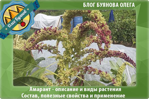 Растение щирица на даче