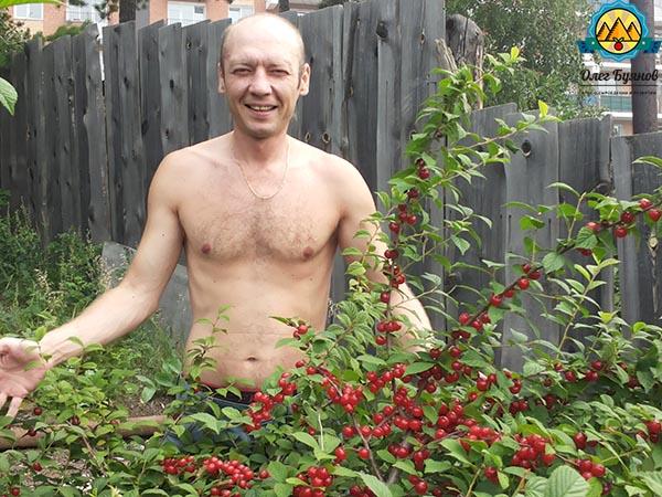 собираю плоды вишни